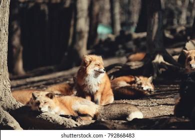 Red fox, Vulpes vulpes in Zao fox village, Miyagi, Japan.