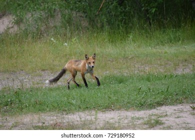 red fox walking on the grass