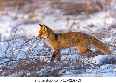 Red fox walking on meadow in winter