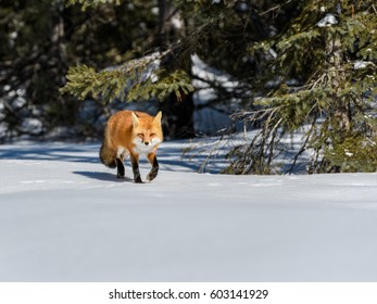 Red Fox Walking on Snow in Winter