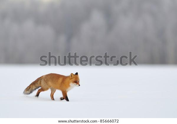 Red fox walking on snow