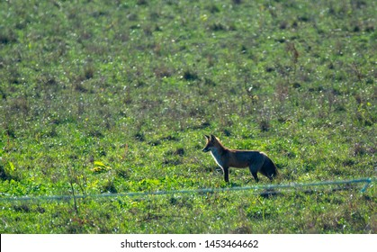 red fox while hunting for mice