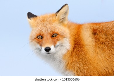 Red fox in white snow. Cold winter with orange furry fox. Face to face portrait of nice cute animal.