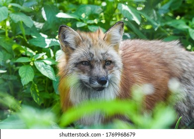 Red Fox in the wild and the city of Germany