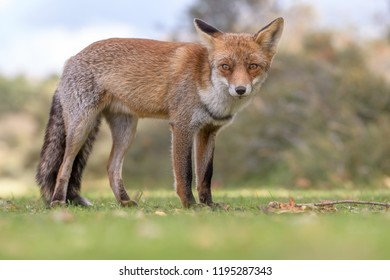 Red fox in the wild looks around for food