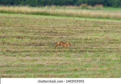 red fox wildlife hunting on the meadow for feed