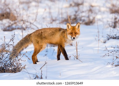 Red fox in winter, in afternoon lights