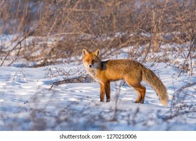 Red fox in winter, in a bright day