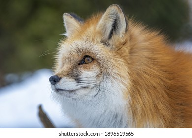red fox with winter fur