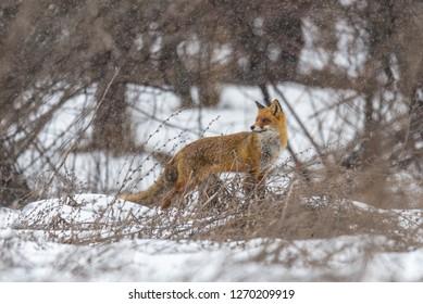 Red fox in winter, in a heavy snowy day