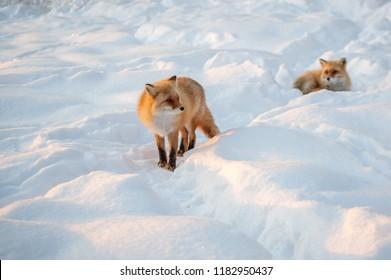Red fox in winter hokkaido