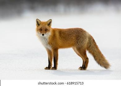 Red fox in winter, Japan.