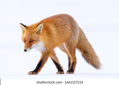 Red fox in winter, Japan. Red Fox in winter landscape. Japanese winter landscape with the animal.
