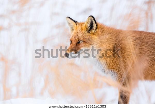 Red fox in winter, Japan. Red fox in winter landscape. Japanese winter landscape with the animal.