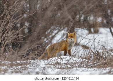 Red fox in winter storm
