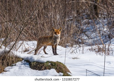 Red fox in winter, in a sunny day