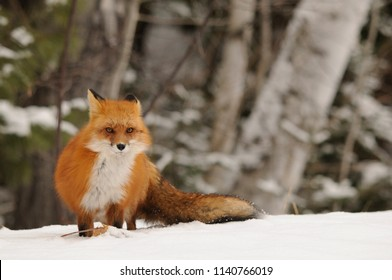 Red Fox in its winter surrounding.