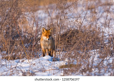 Red fox in winter, warming up in the sun