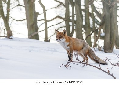 Red fox in wintertime with fresh fallen snow.