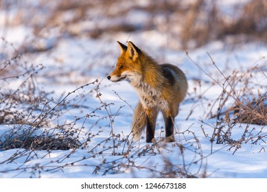 Red fox in wintertime, looking for prey