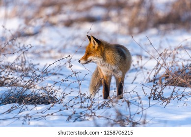 Red fox in wintertime, scanning the winter field for prey