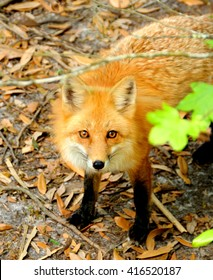 Red fox in the woods.