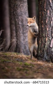 Red fox in the woods(Vulpes vulpes)