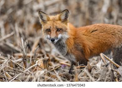 Red Foxy Fox