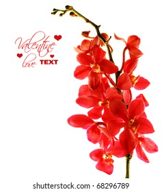 Red fresh orchid flower isolated on white background