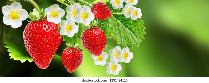 red fresh strawberries in blooming