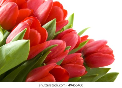 Red fresh tulips on a white background