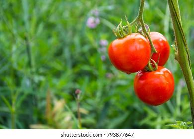 red fresh wet water drop tomato in green garden