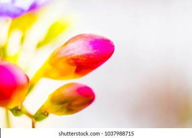 Red fressia on white background ,spring flowers