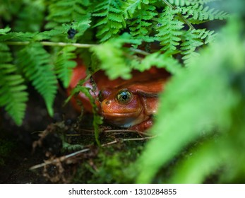 Red frog (tomato frog, Dyscophus antongilii) with big yellow eyes sits in the green grass