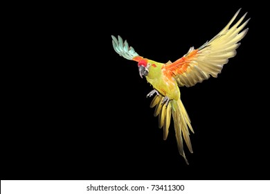 Red Fronted Macaw flying