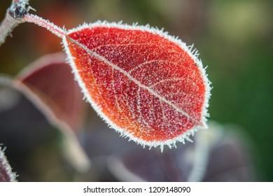 Red frosty leaf