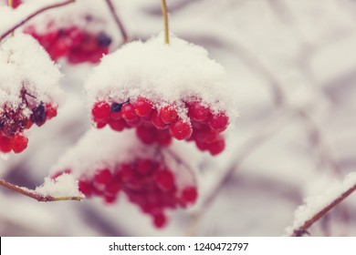 Red frozen berries viburnum in the winter season