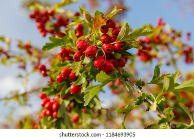 Red fruit of Crataegus monogyna, known as  hawthorn or single-seeded hawthorn ( may, mayblossom, maythorn, quickthorn, whitethorn, motherdie, haw )