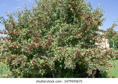 Red fruit of Crataegus monogyna, known as hawthorn or single-seeded hawthorn ( may, mayblossom, maythorn, quickthorn, whitethorn, motherdie, haw ), banner
