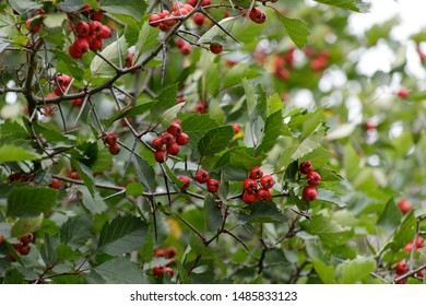 The red fruit of Crataegus monogyna, known as the hawthorn or single-seed hawthorn or May flower, major, blackthorn, white horn, motherboard