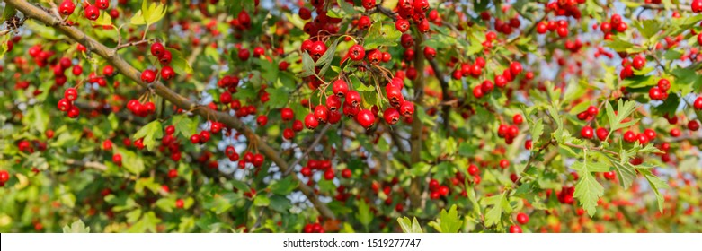 Red fruit of Crataegus monogyna, known as  hawthorn or single-seeded hawthorn ( may, mayblossom, maythorn, quickthorn, whitethorn, motherdie, haw ), banner background