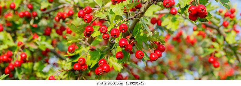 Red fruit of Crataegus monogyna, known as  hawthorn or single-seeded hawthorn ( may, mayblossom, maythorn, quickthorn, whitethorn, motherdie, haw ) banner