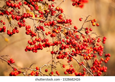 Red fruit of Crataegus monogyna, known as hawthorn or single-seeded hawthorn may, mayblossom, maythorn, quickthorn, whitethorn, motherdie, haw