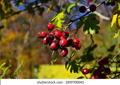 Red fruit of Crataegus pruinosa, known as hawthorn or single-seeded hawthorn ( may, mayblossom, maythorn, quickthorn, whitethorn, motherdie, haw ).
