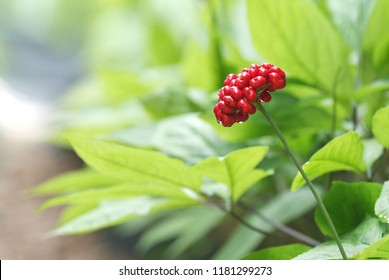 The Red Fruit of Korean Traditional Health Food Ginseng