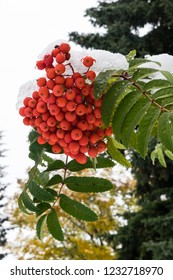 Red fruit of Roman tree (Sorbus aucuparia) and leaves covered with melting snow