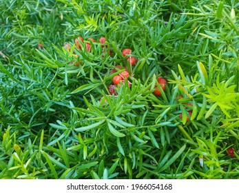 Red fruits of asparagus fern plant, Asparagus densiflorus, ornamental in Galicia, Spain