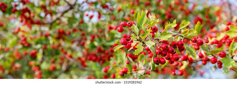 Red fruits of Crataegus monogyna, known as  hawthorn or single-seeded hawthorn ( may, mayblossom, maythorn, quickthorn, whitethorn, motherdie, haw ), banner background