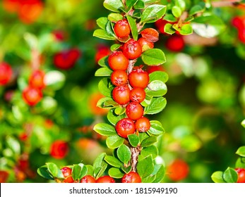 Red fruits of creeping cotoneaster. Cotoneaster adpressus, commonly known as creeping cotoneaster, is a species of flowering plant in the genus Cotoneaster of the family Rosaceae.
