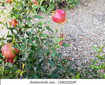 Red fruits and flower buds on dwarf pomegranate shrub